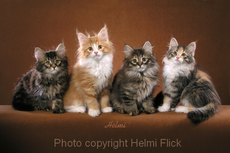 Superb Wallpapers With Quotes Four Norwegian Forest Cat Kittens Poc