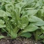 ほうれん草の栄養効果効能はスタミナ源!!生加熱処理を上手に旬を食べる❣