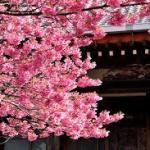 桜の早咲きは伊豆の土肥温泉!!修善寺の梅祭りと土肥桜を楽しめる時期❣