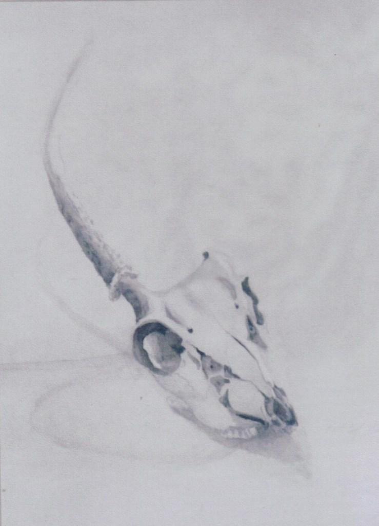 Calf's Skull