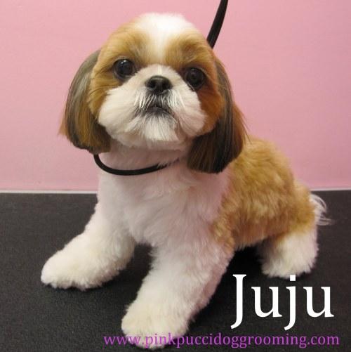 Medium Of Shih Tzu Haircut
