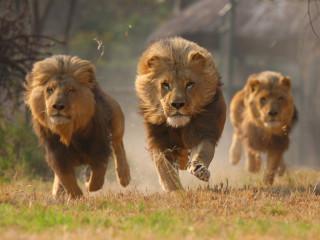 African Lion Facts The Sub Saharan Big Cats Pinstorus