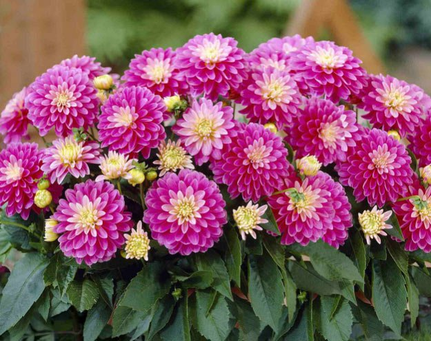 Dahlia |Types of Summer Flowers