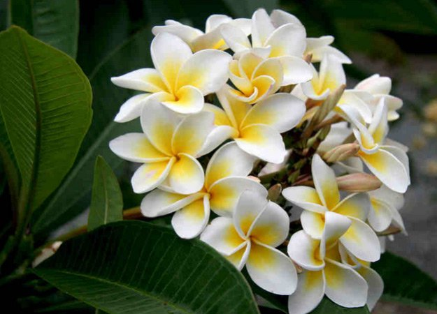 Plumeria | Types of Summer Flowers