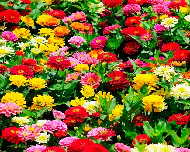 Zinnia| Types of Summer Flowers