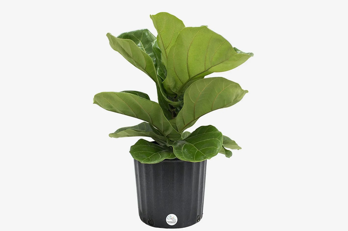 Where To Buy Indoor Plants Online Costa Farms Ficus Pandurata Fiddle Leaf Fig Live Indoor Floor Plant