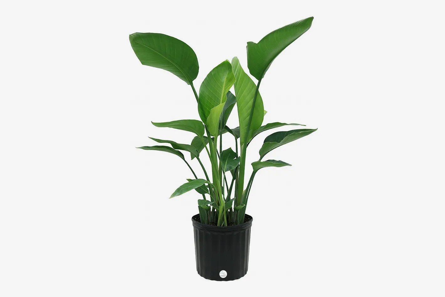 Home Depot Palm Trees 14 Best Indoor Plants On Amazon 2018 Fiddle Leaf And More