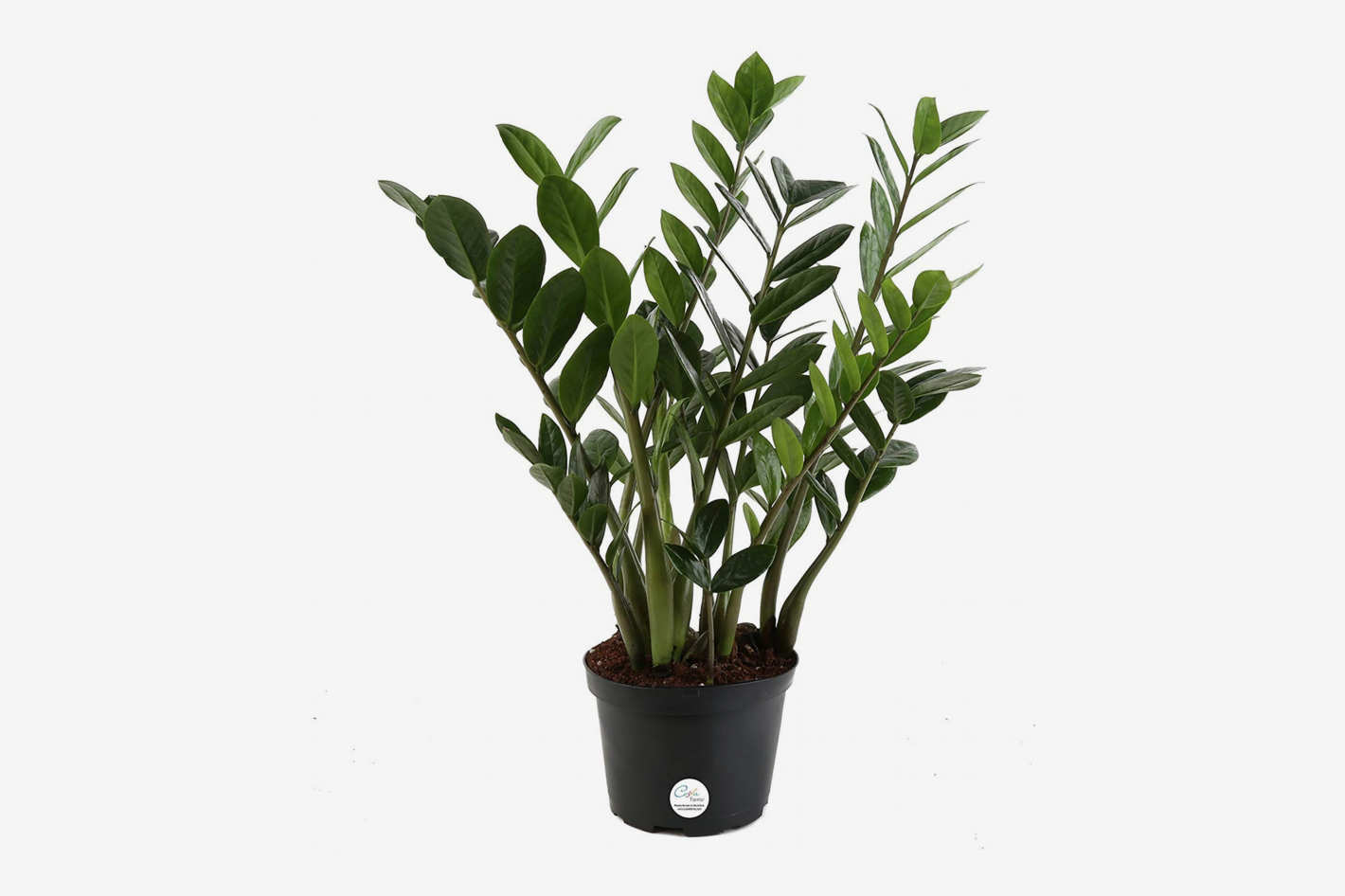 Indoor Plants For The Office Zz Plant Zamioculcas Zamiifolia