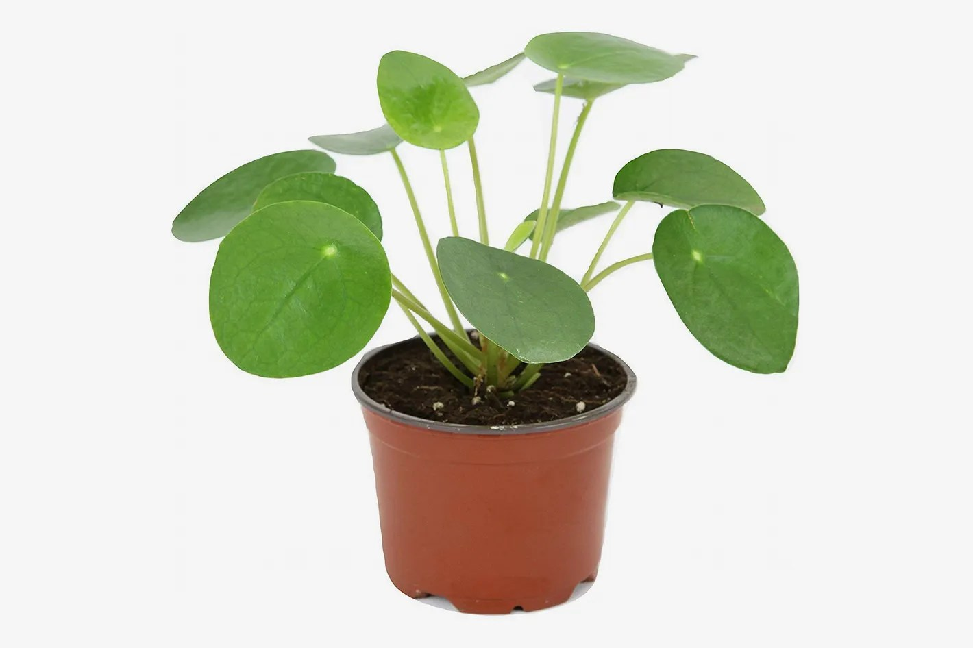 Unusual House Plants For Sale Pilea Peperomioides