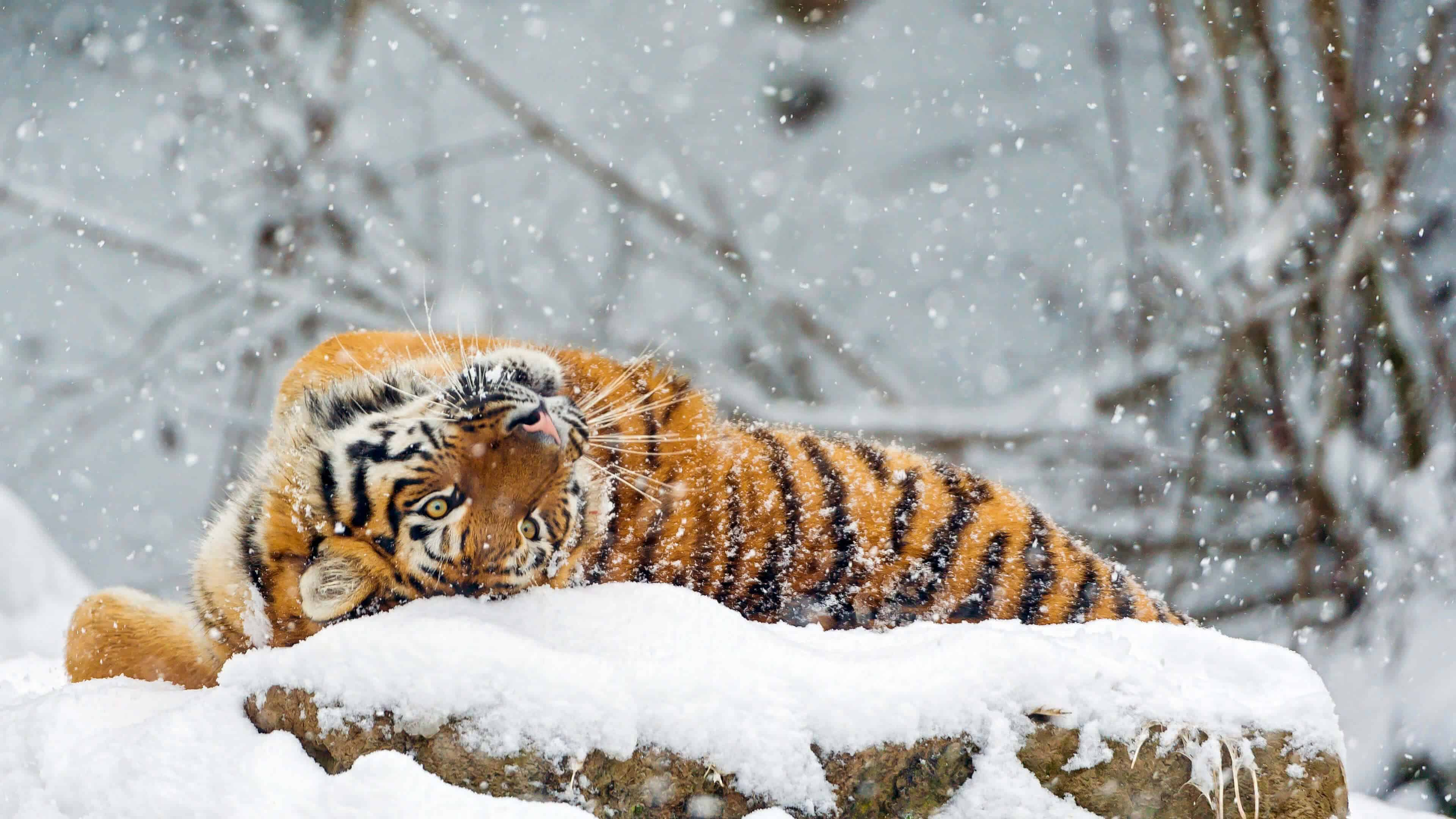 Ultra Hd Wallpapers Cars Tiger Rolling In The Snow Uhd 4k Wallpaper Pixelz