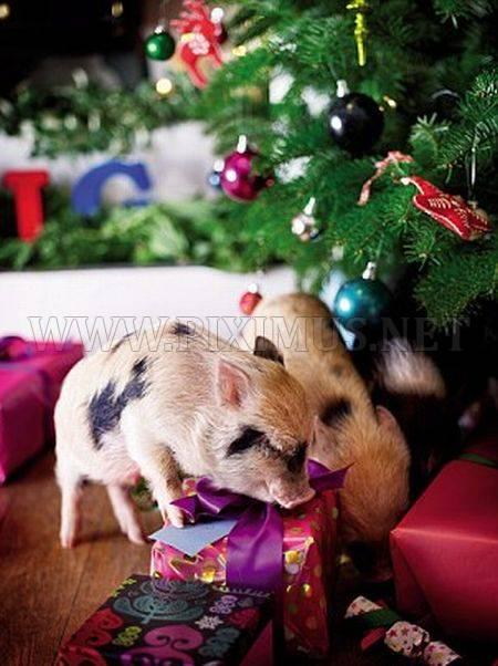Free Cute Food Wallpaper Micro Pigs And Christmas Fun