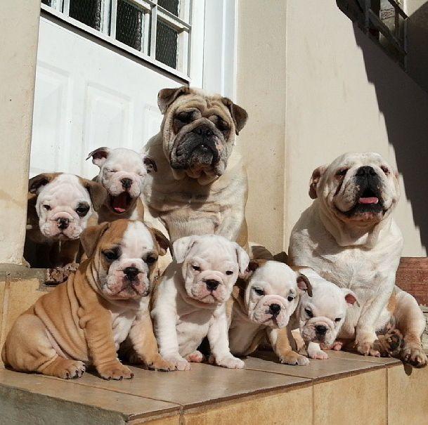 Cute Pug Puppies Wallpapers Very Cute Bulldog Puppies Animals