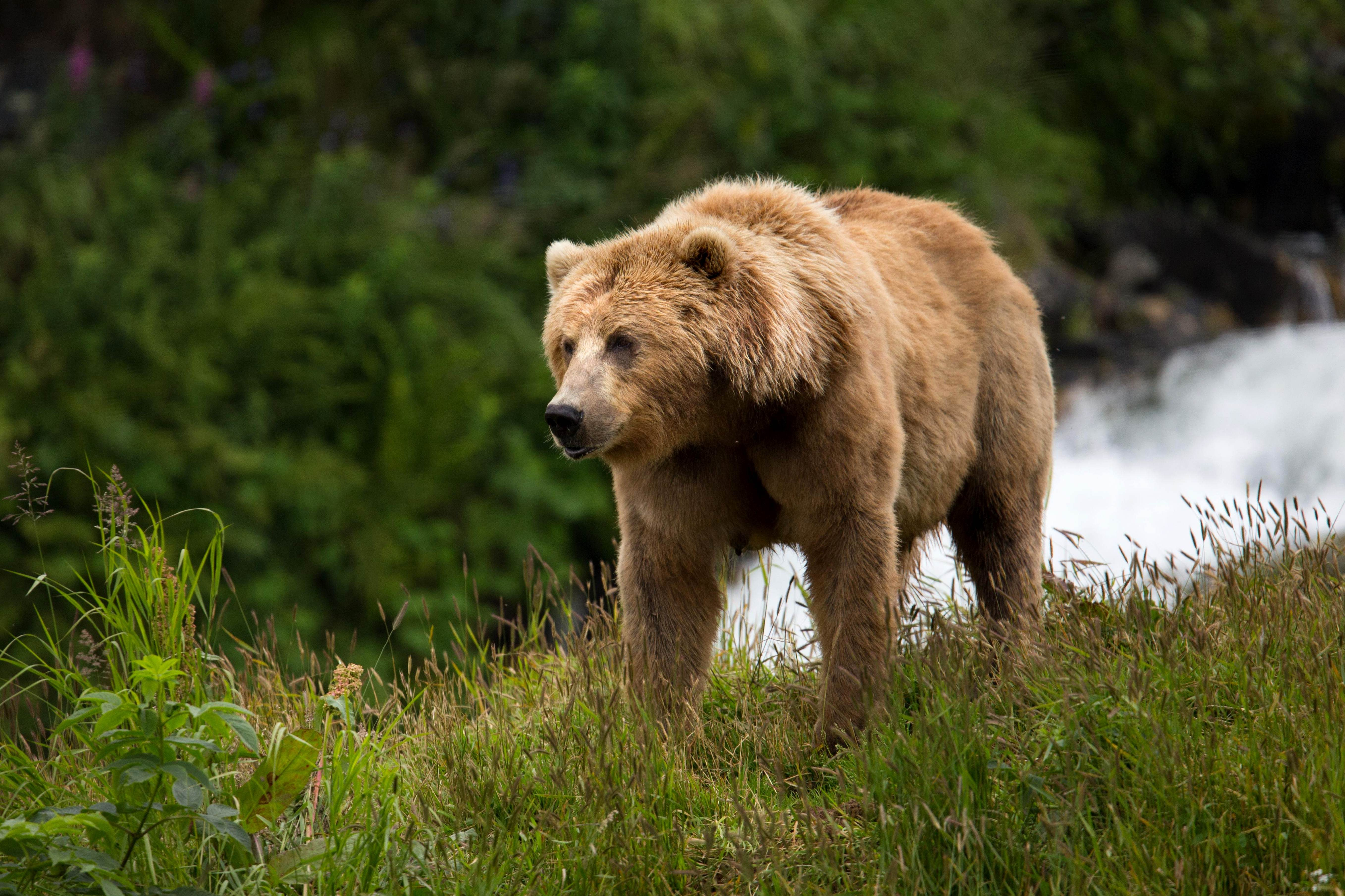 Nature Animal Wallpaper Hd Image Libre Ours Brun Truie