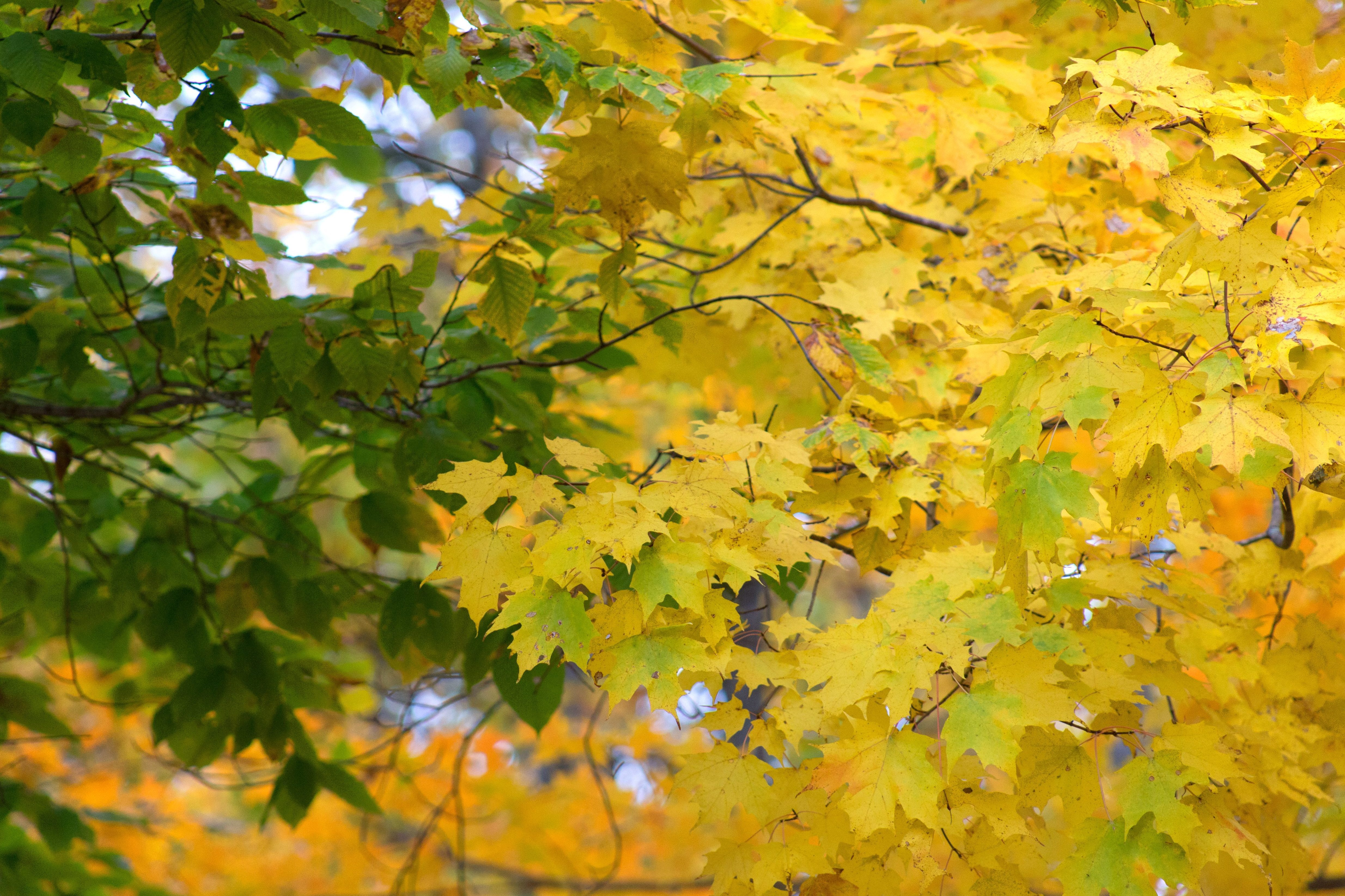 Fall Road Wallpaper Free Picture Leaves Yellowish Leaves Green Leaves Leaf