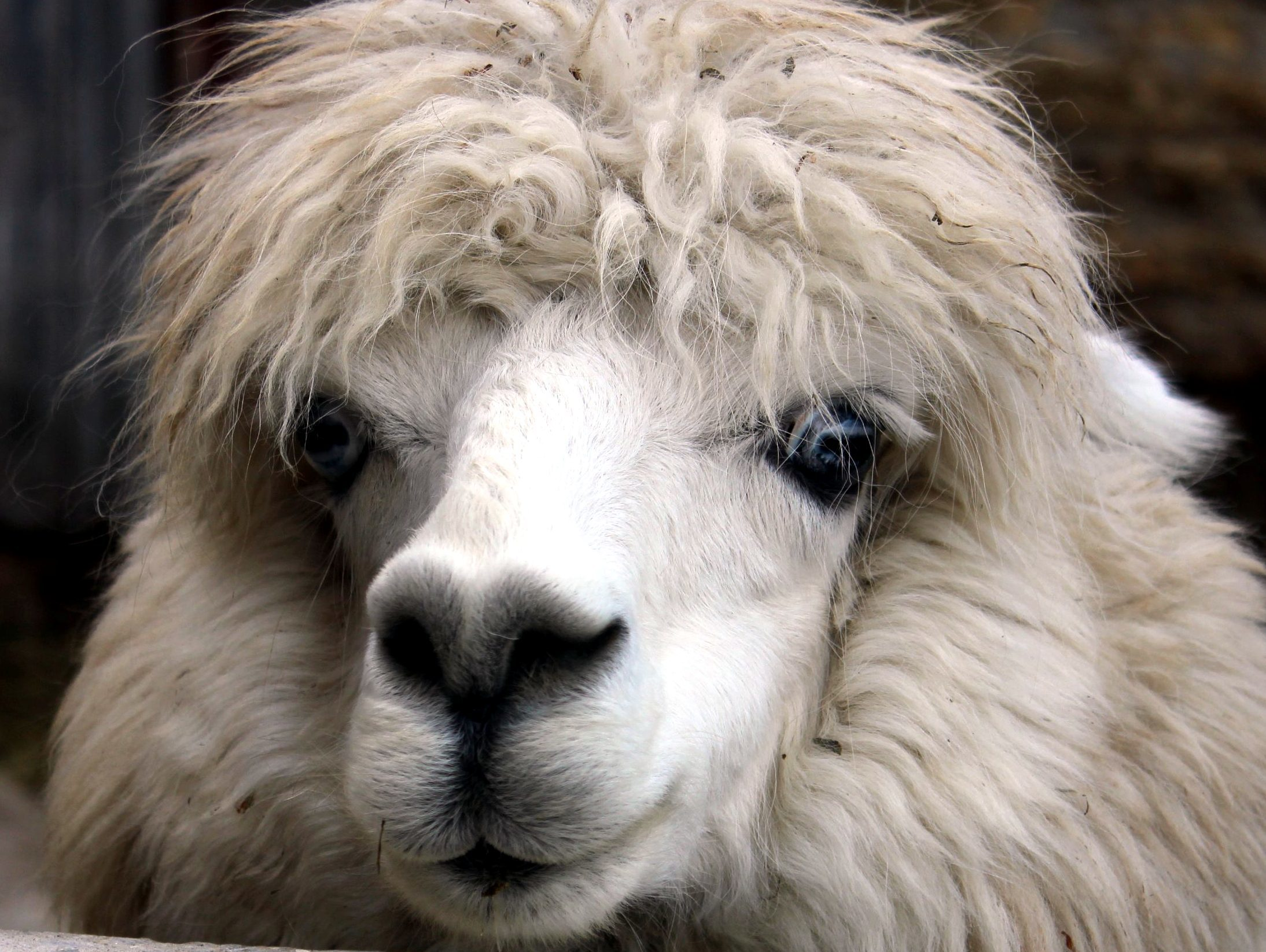 Cute Images Wallpaper Download Free Picture Alpaca Animal Face Head