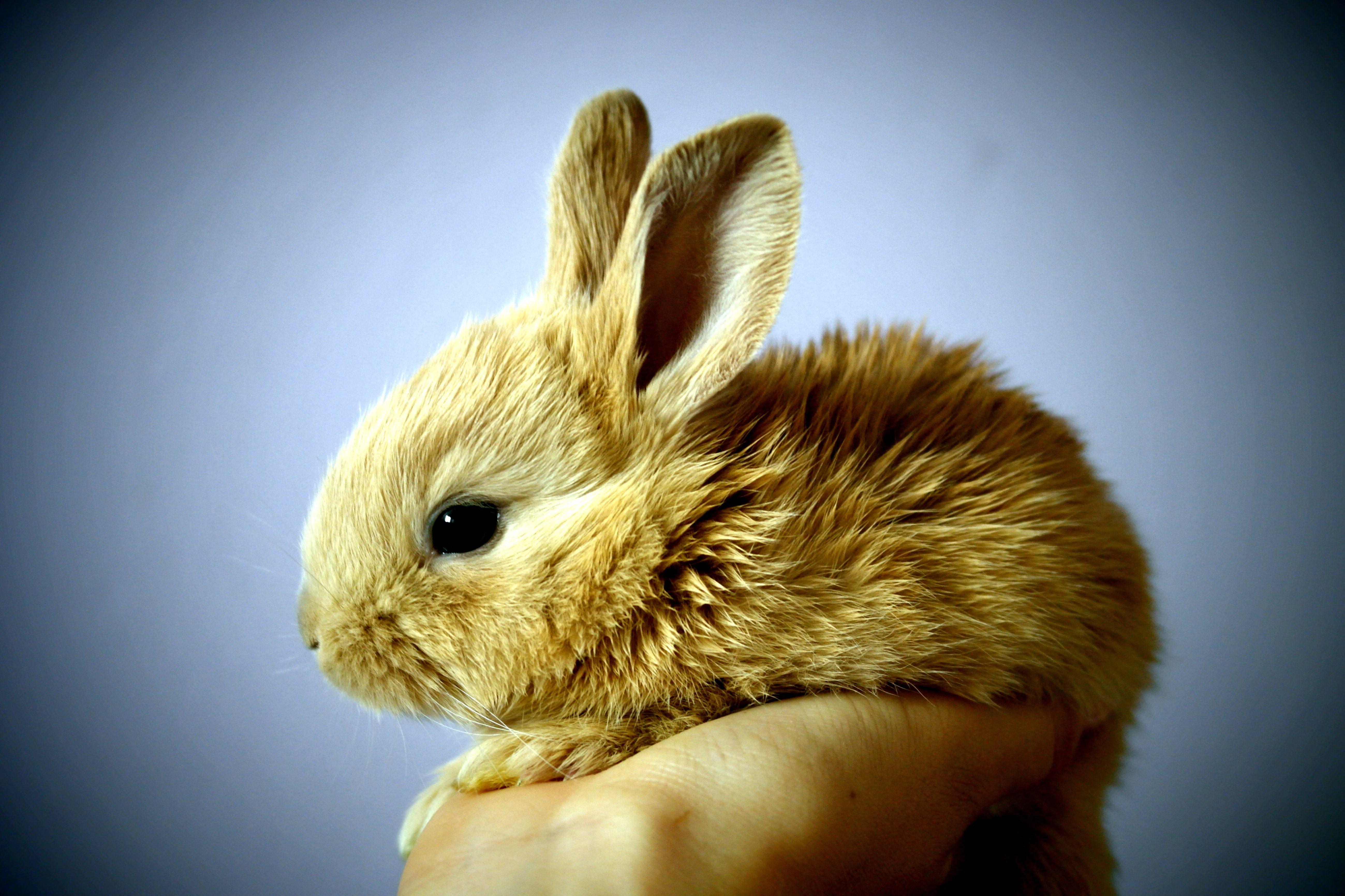 Cute Rabbits Hd Wallpapers Image Libre Lapin Mignon Lapin Brun Main