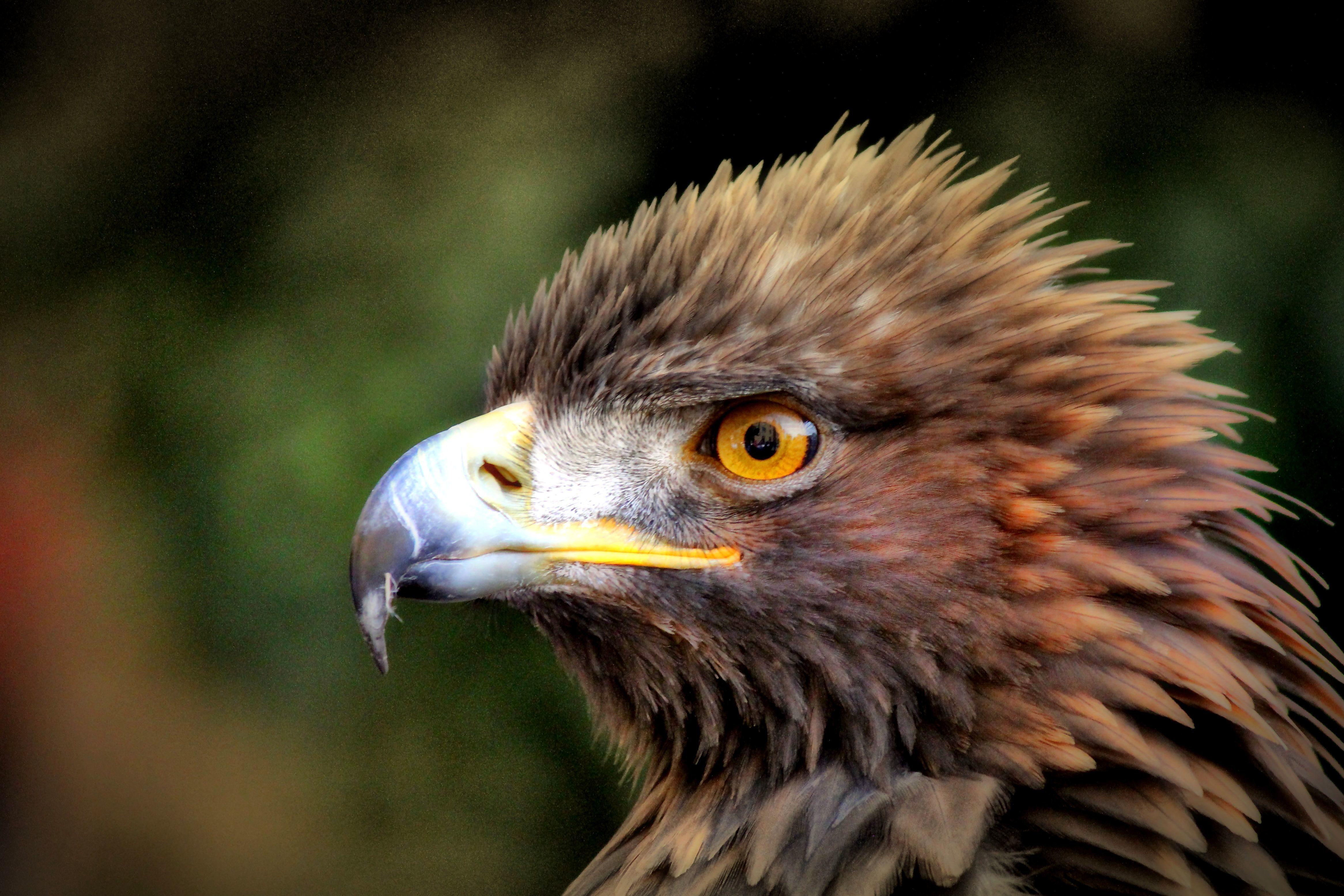 Free Hd 3d Wallpapers For Desktop Image Libre Aigle Royal Photo Headshot Oiseau