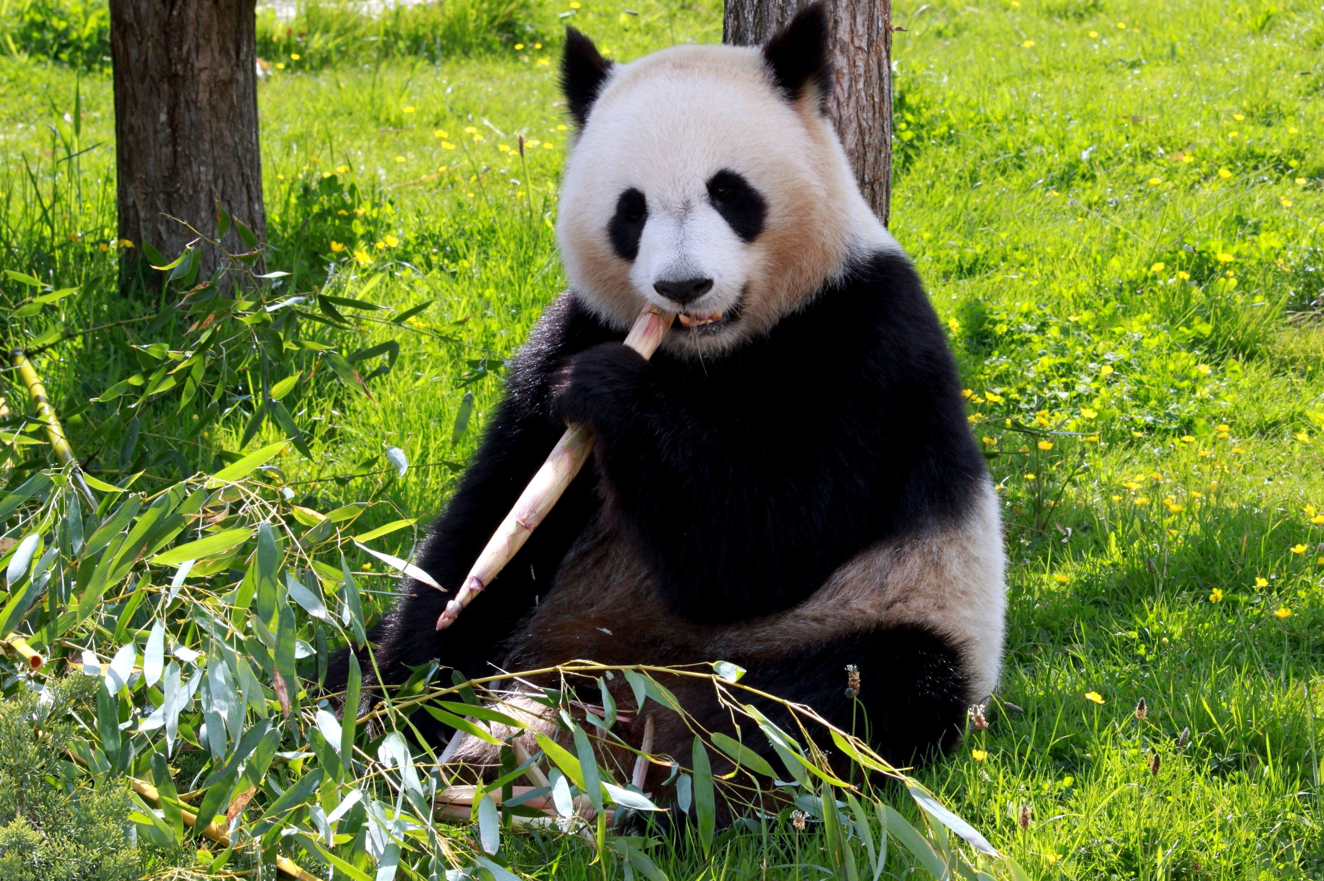 Wallpaper Cute Bear Foto Gratis Panda Orso Mangiare Bamb 249 Terra