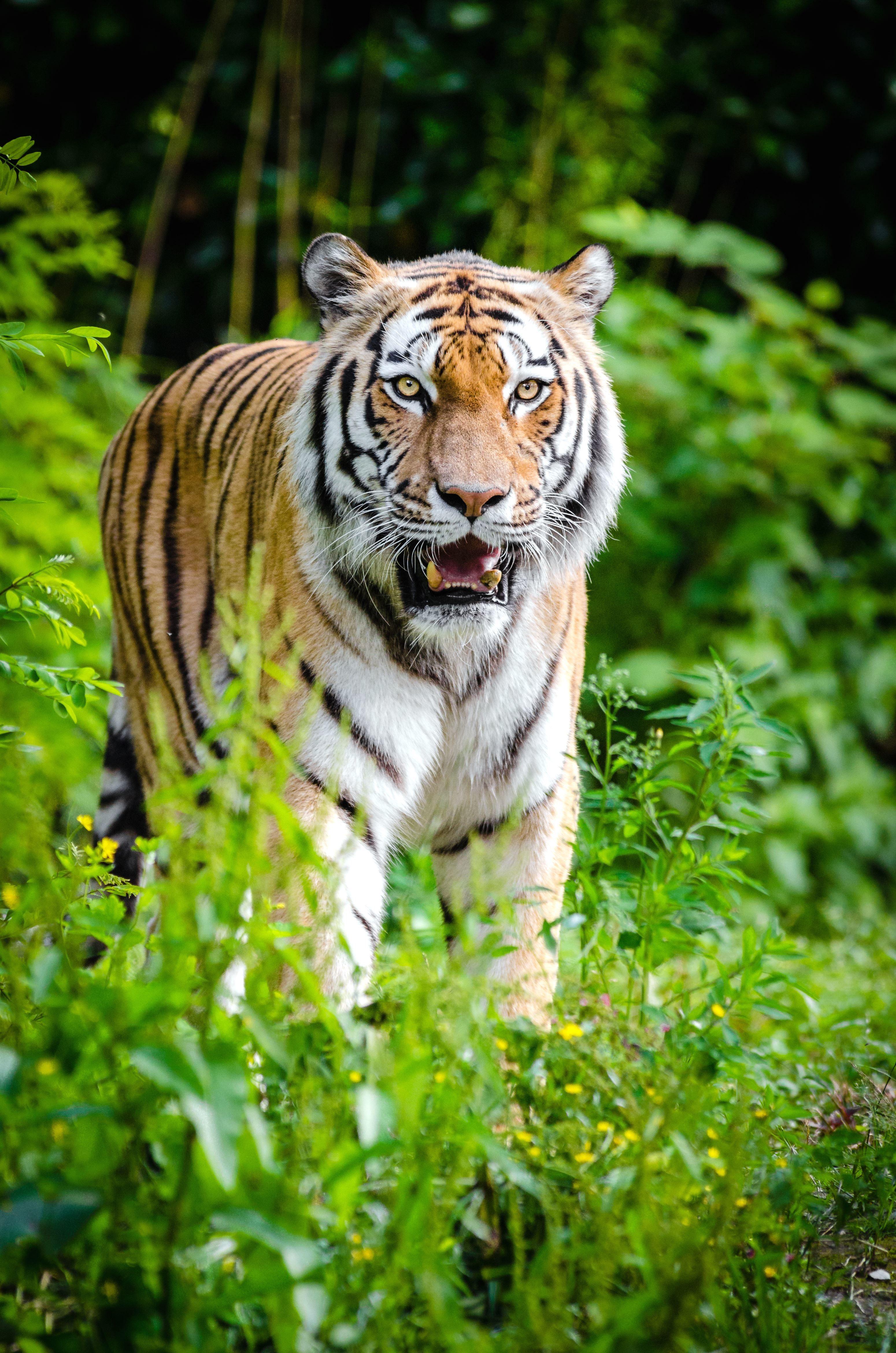 Jungle Animal Wallpaper Free Picture Animal Tiger Jungle Nature Plants