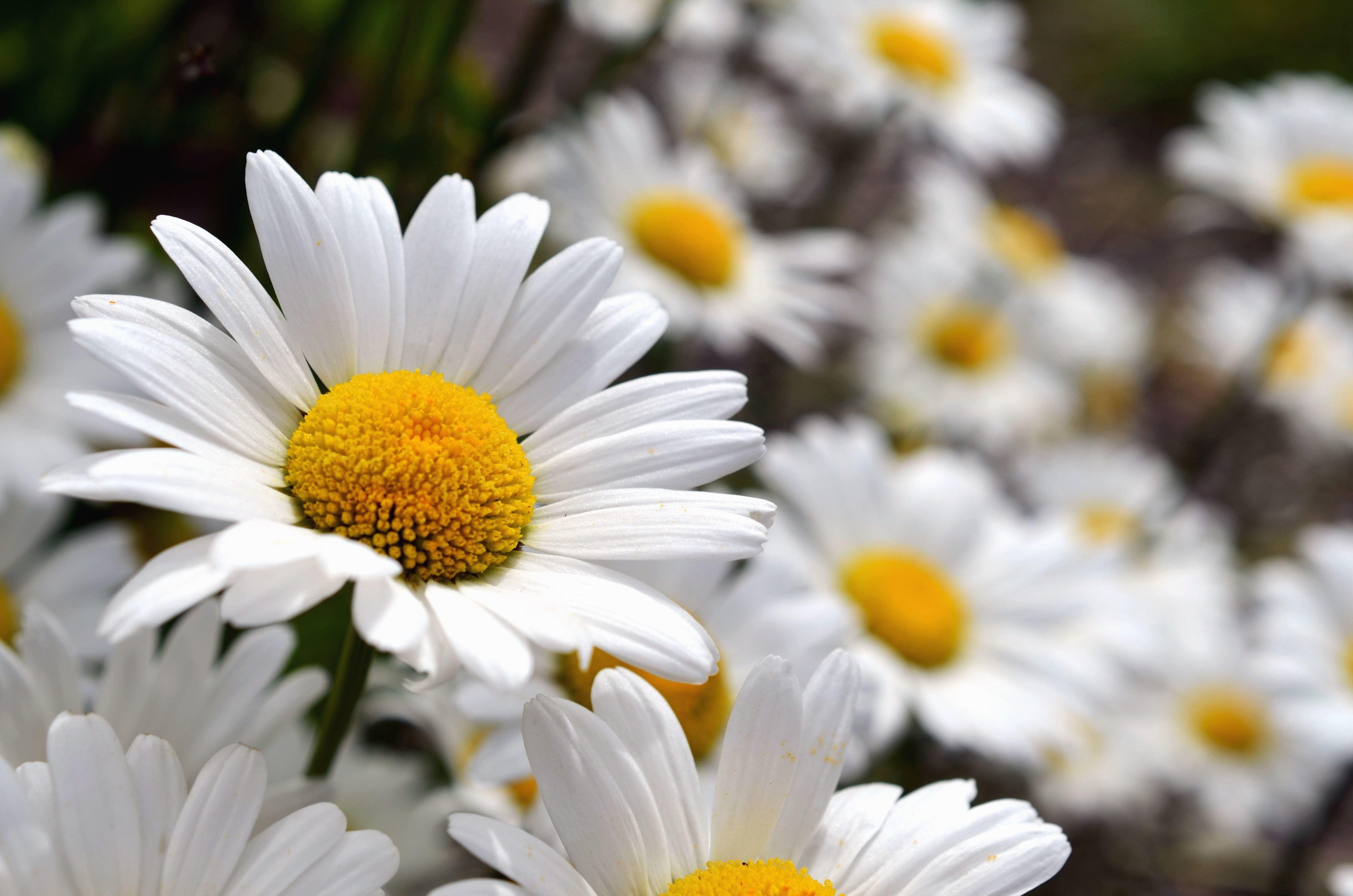 Free Landscape Wallpaper Hd Free Picture Daisy Flowering Petals Pollen Stamens
