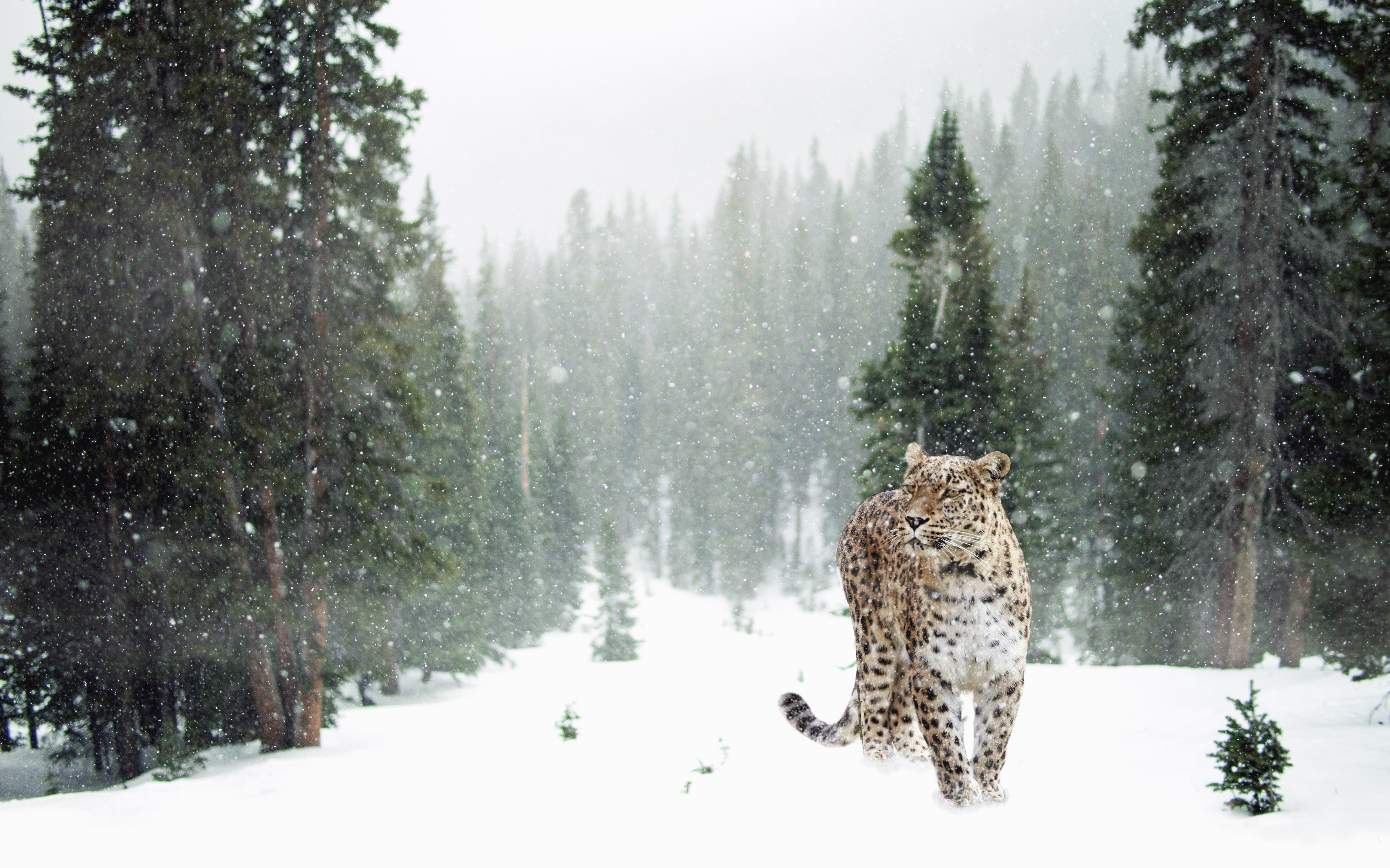 Hd Wallpaper Iphone 7 Free Picture Tree Snow Leopard Animal Predator