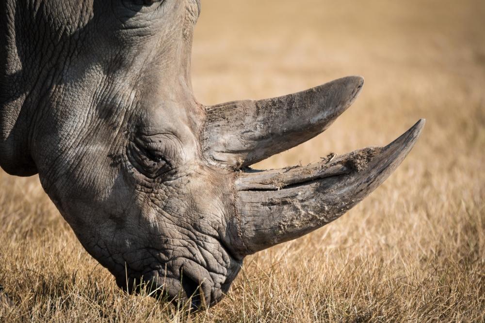 Black White Wallpaper Kostenlose Bild Natur Tier Nashorn Afrika Portr 228 T