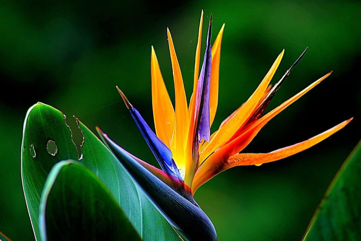 Bird Of Paradise Hd Wallpaper Image Libre Flore Feuille Fleur Tropique Color 233