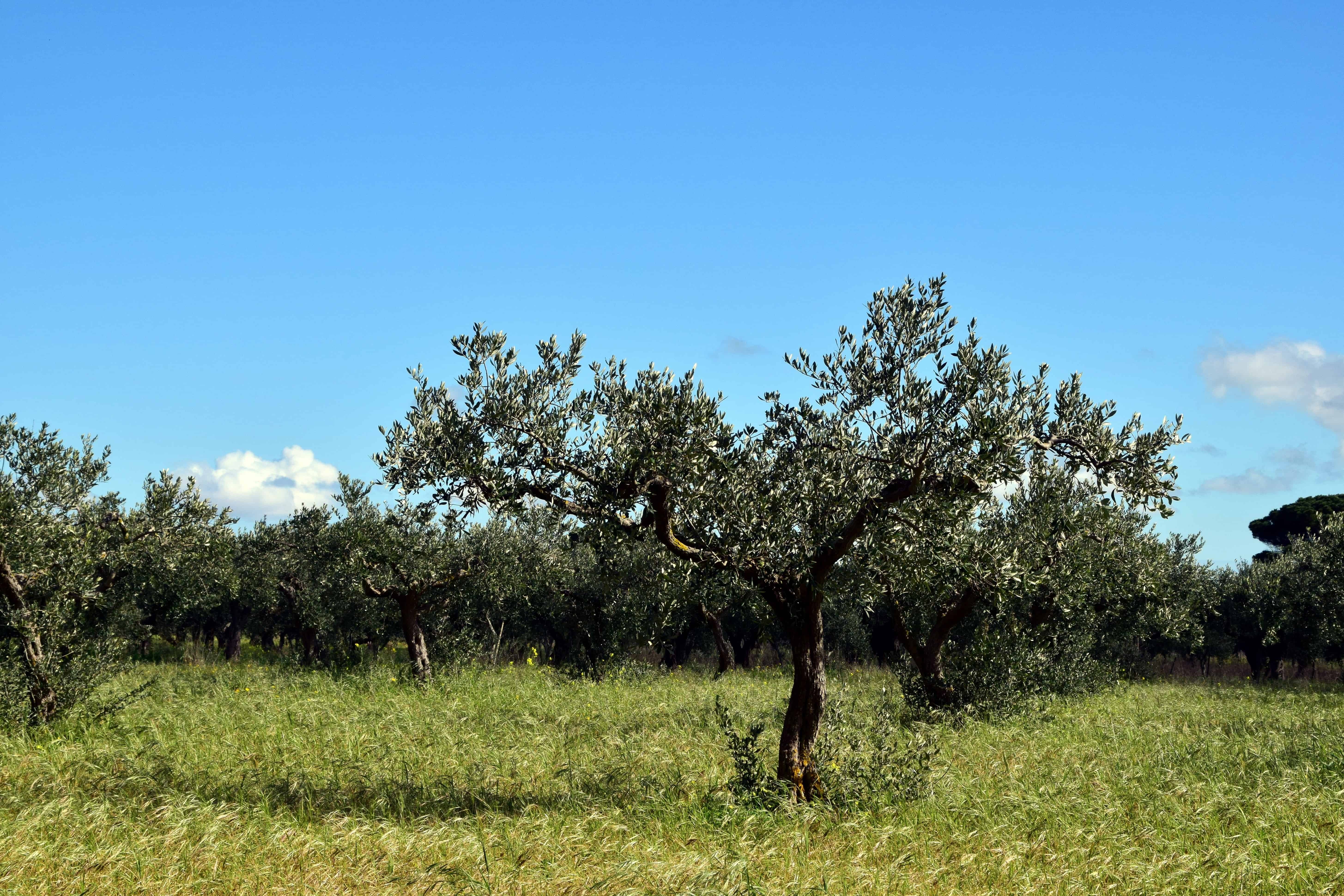 Summer Album Free Picture: Nature, Olive Tree, Orchard, Agriculture