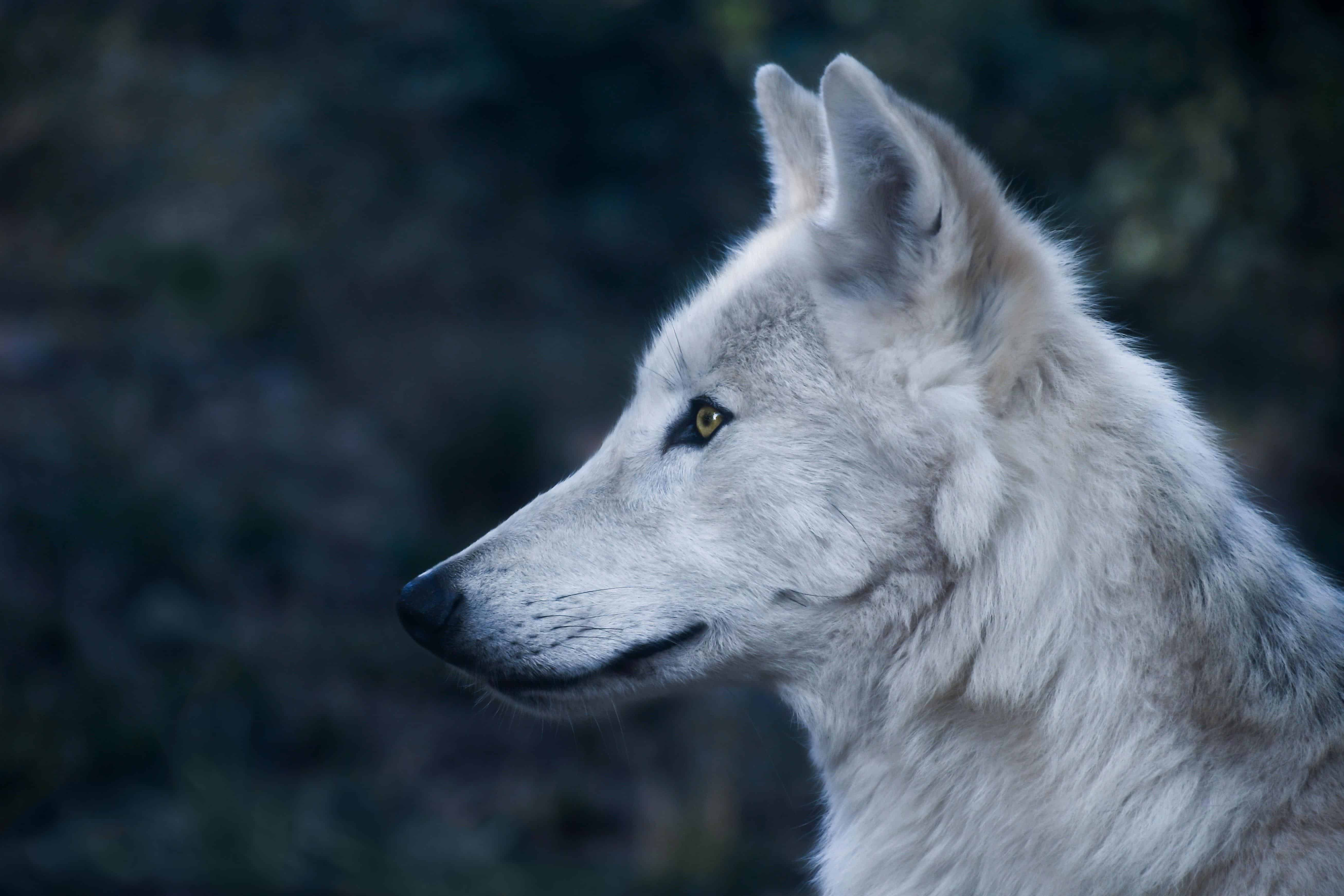 Forest Animal Wallpaper Free Picture White Wolf Profile Portrait Portrait