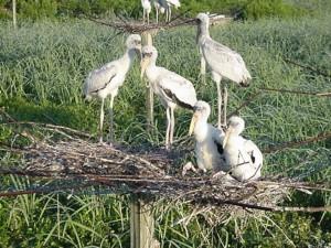 Wood Storks Free Images Public Domain Images