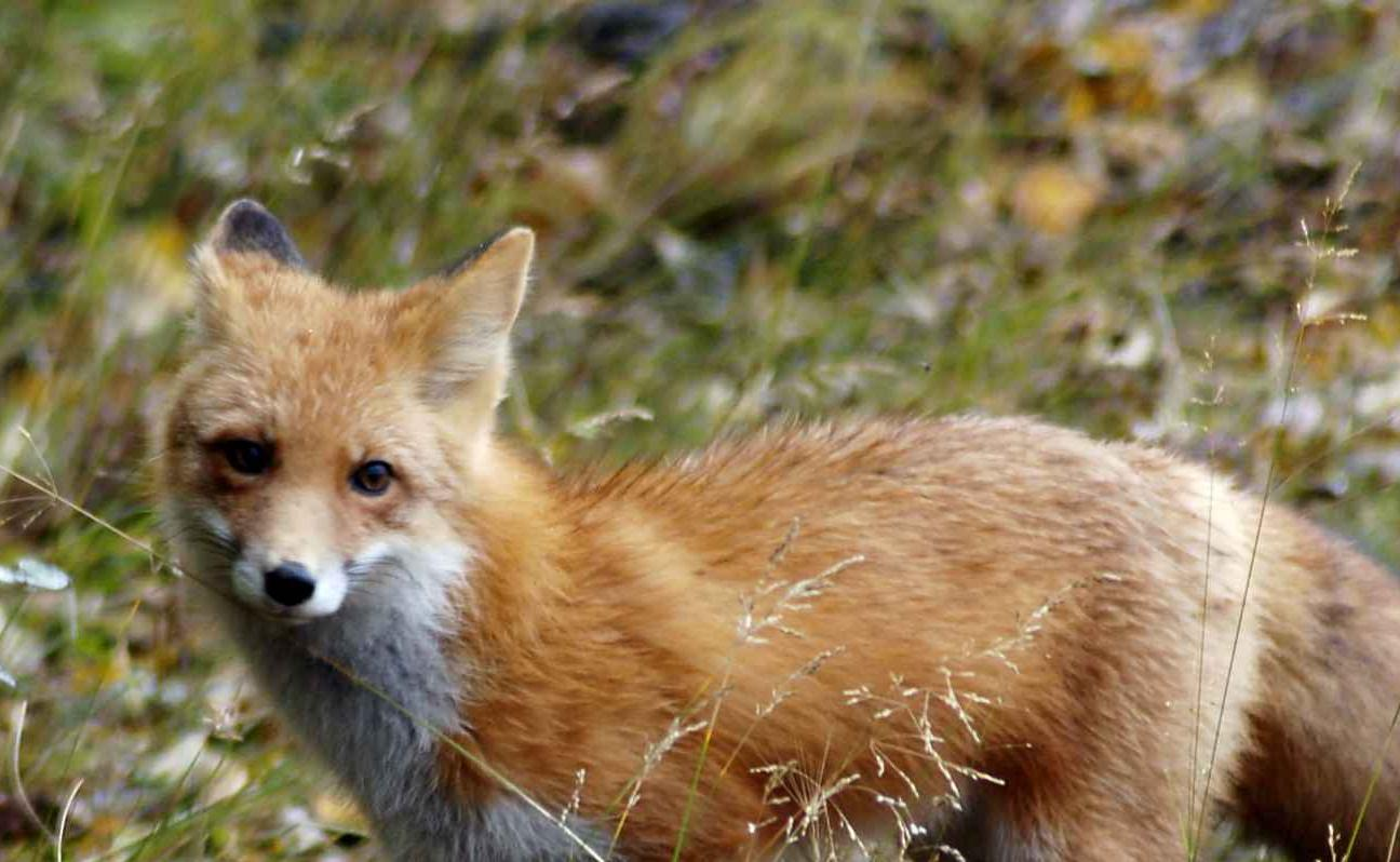 Cute Newborn Baby Hd Wallpapers Free Picture Red Fox Male