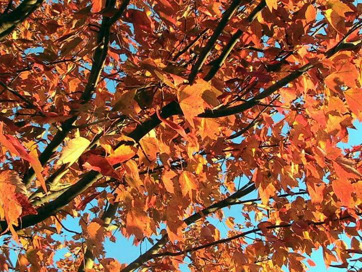 Fall Coffee Wallpaper Free Picture Red Maple Tree Autumn Fall