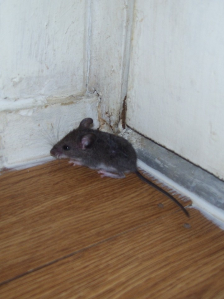 There's a Mouse in the House | PixyGiggles