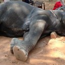 dead-elephant-anghor-wat-sambo-tourism-cambodia-1