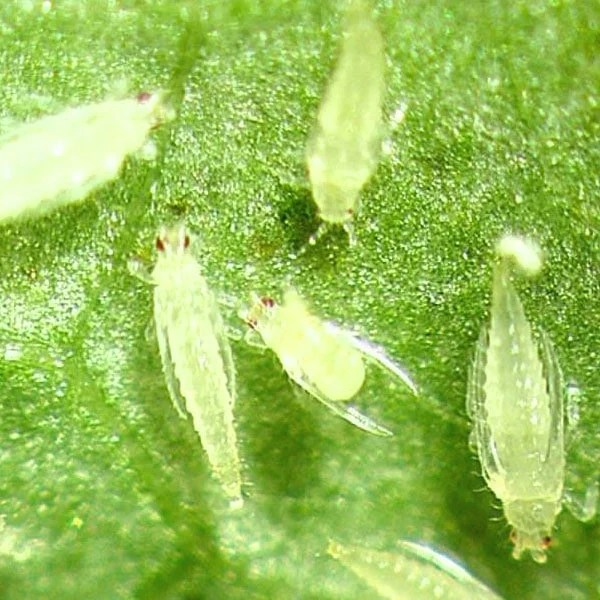 Tiny Green Bugs That Bite How To Get Rid Of Thrips | Planet Natural