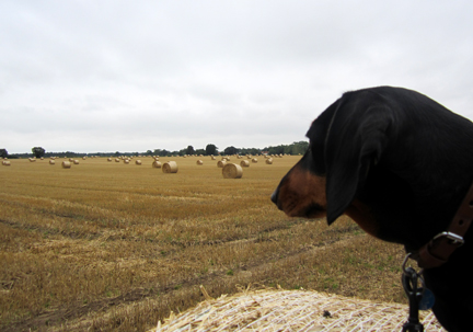 Miniature dachshund in the straw bales