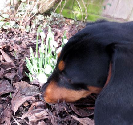 mini dachshund &snowdrops