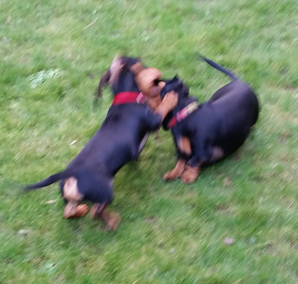 Miniature Dachshunds - Happy Friday