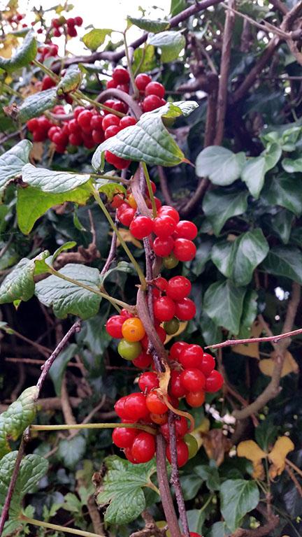 Nightshade berries - September - Norfolk UK