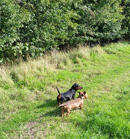 mini dachshunds in September sun