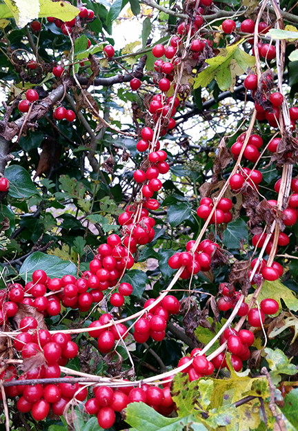 Autumn hedgerow - Nightshade berries