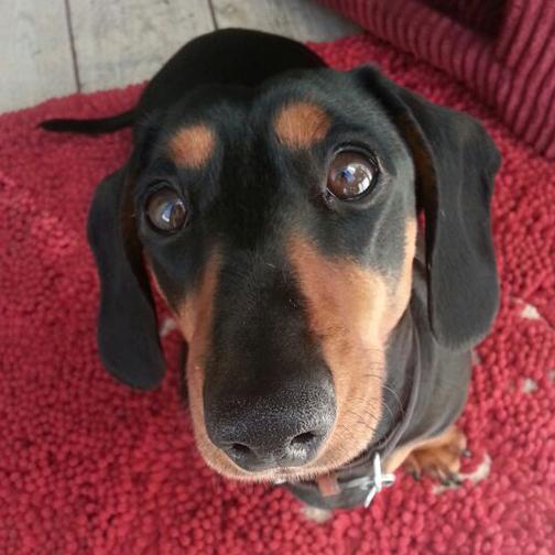 Higgins miniature dachshund reviews his Pawsome Box