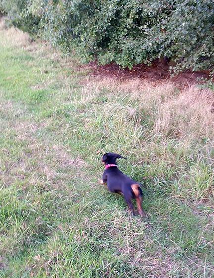 Mini dachshund in autumn planning