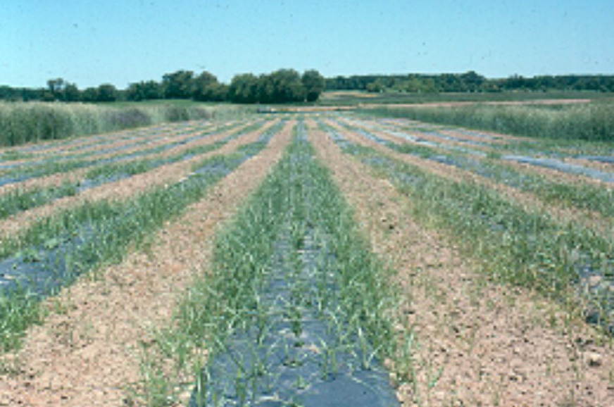 Weed Control for Crops Commonly Grown on Plastic Mulch \u2014 Plant