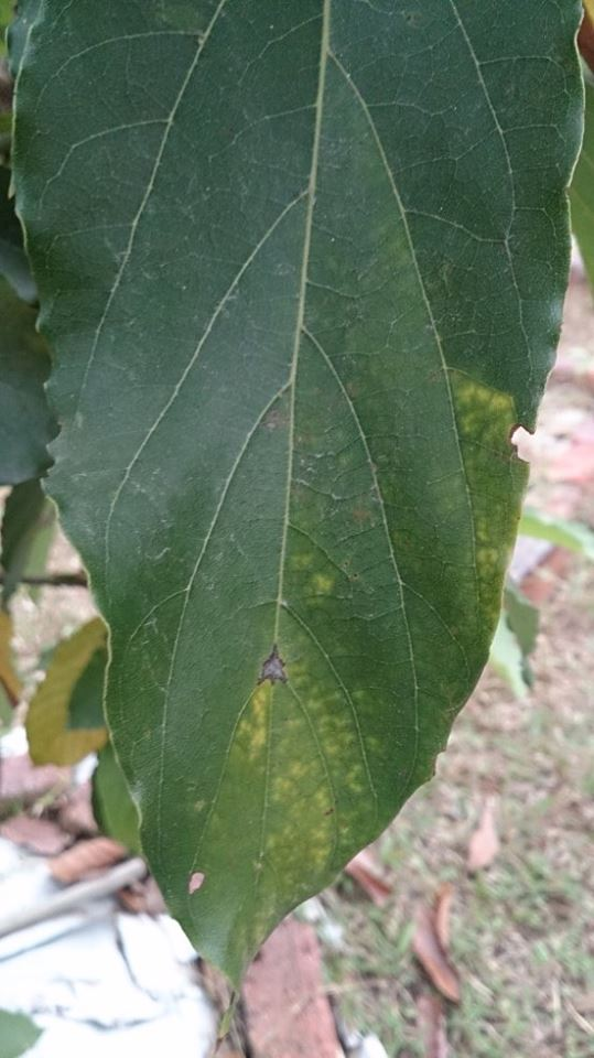 Avocado Plant Forum: Avocado Leaves Going Brown