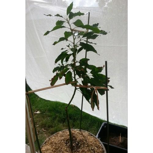 Medium Crop Of Dwarf Avocado Tree