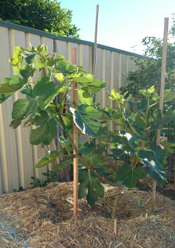 Charming Fig Brown Turkey Fig Brown Turkey Fruit Tree Ficus Carica How To Prune A Fig Tree Spain A Pot How To Prune A Fig Tree