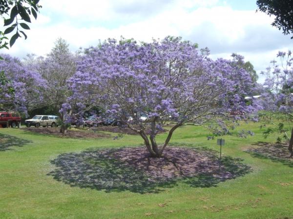 3d Wallpaper Lavender Jacaranda Mimosifolia Jacaranda Purple Tree