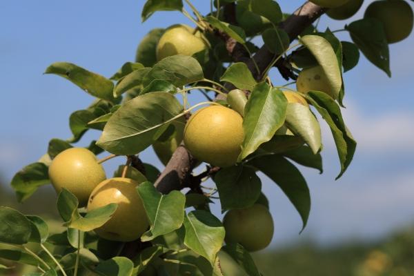 Nashi Pear Shinseiki Tree - Pyrus Pyrifolia