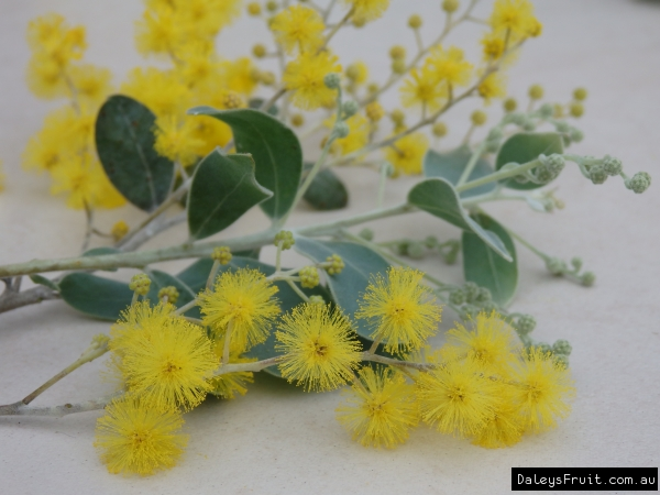 Small White Plant Pots Acacia Podalyriifolia Queensland Silver Wattle Tree